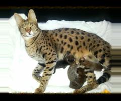 Wonderful Savannah Kittens For Adoption
