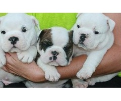 Able Quality English Bulldogs Pups For Sale