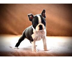 Boston terrier puppies