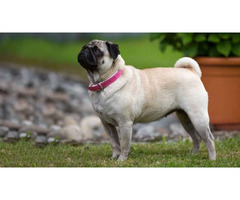 Pug Puppies for Sale - Central Park Puppies