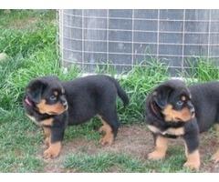 Marvelous Rottweiler for adoption