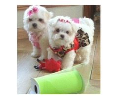 Male and Female Teacup maltese Puppies for A Good Home