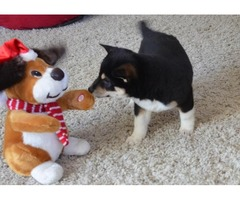 Adorable Shiba Inu puppies for sale