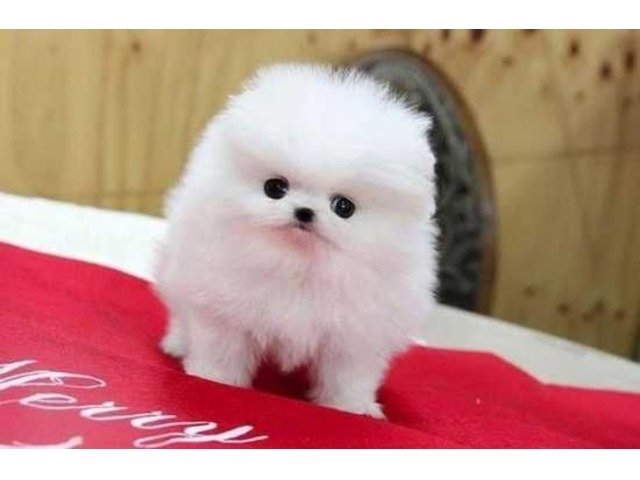 Very Healthy Pomeranian Puppies For Sale Animals Austin Texas