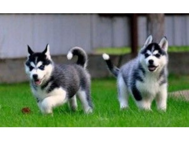 Akc Pure Breed Siberian Husky Puppies | free-classifieds-usa.com