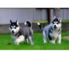 Akc Pure Breed Siberian Husky Puppies