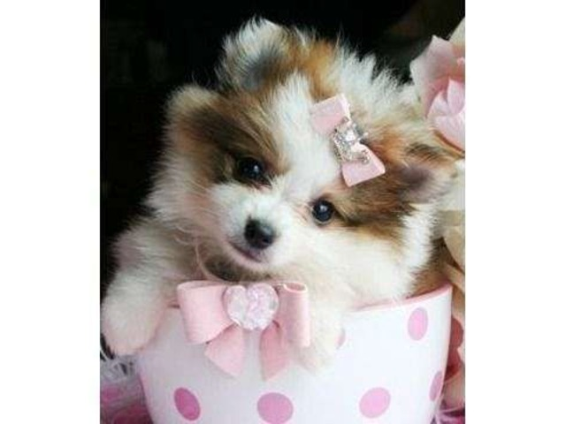 bouncy playful adorable pomeranians for for sale - Animals
