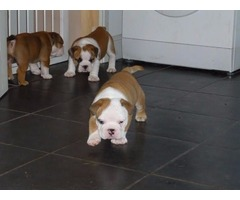 3 beautiful English Bulldogs for adoption