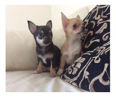 Cute chiwawa Puppies for adoption