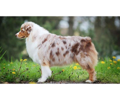 Australian Shepherd for Sale NYC - Central Park Puppies