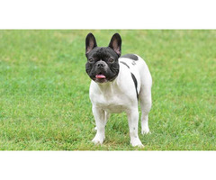 French Bulldog Puppies for Sale NY - Central Park Puppies