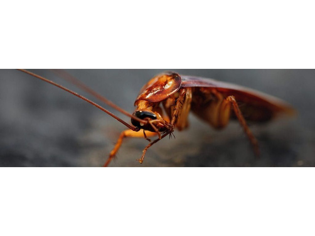 Effective Cockroach Control Service in Colorado Springs, CO.    free-classifieds-usa.com