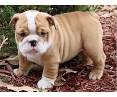 Akc Male and Female English Bulldog Puppies For A Good Home!!