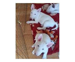 bull terrier Puppies.