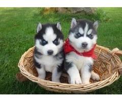 Quality Siberian Husky For Good Homes