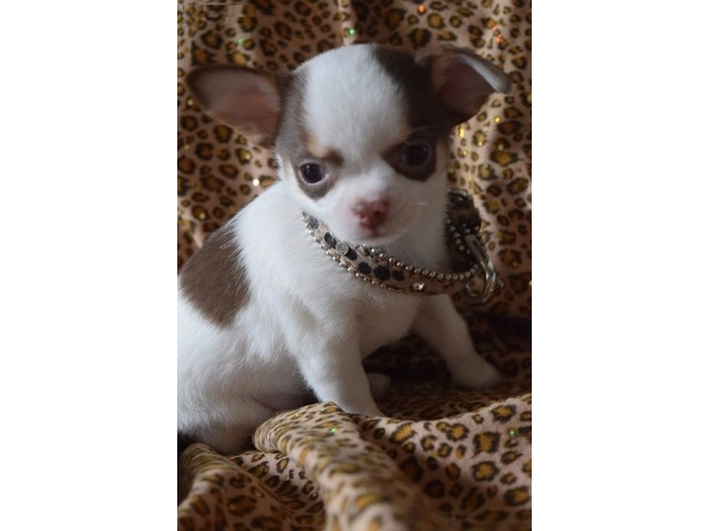 Adoreble chihuahua puppies for sale - Animals - Charlotte ...