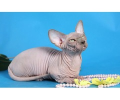 Sphynx kitten ready for sale
