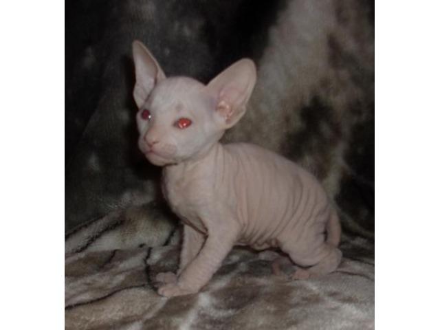 Sphynx kitten for sale - Animals - Orlando - Florida - announcement