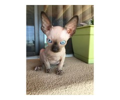 Sphynx kitten ready for sale now.