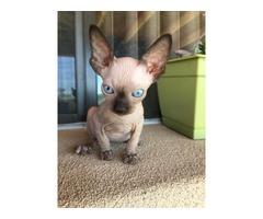 Sphynx kitten ready for sale now.