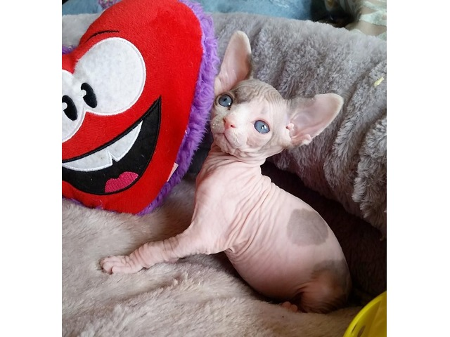 Sphynx kitten for sale*. | free-classifieds-usa.com