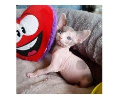 Sphynx kitten for sale*.