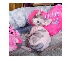 Cute Sphynx kitten for sale.........