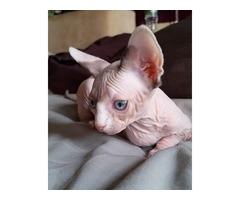 bwer Sphynx kitten for sale