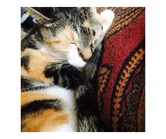 CALICO CAT NEEDS A HOME