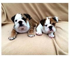 Stunning Kc Registered  English Bulldog Puppies