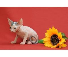 Sphynx kitten for sale 2