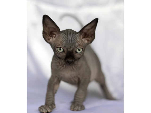 Sphynx as part of our family - Animals - Del City - Oklahoma