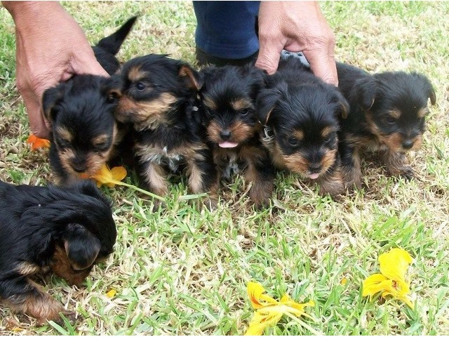 Beautifulckcteacupmaleandfemaleyorkiepuppiesforadoption