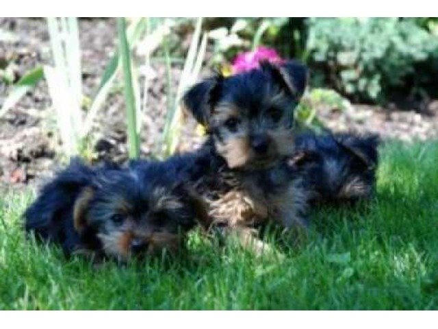 Beautiful CKC Teacup Male and Female Yorkie Puppies for