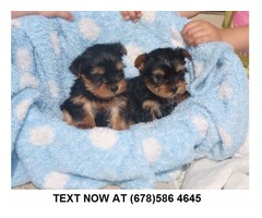 Going Male And Female Yorkie Puppies