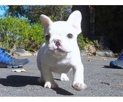 Gorgeous French Bulldog puppies for adoption
