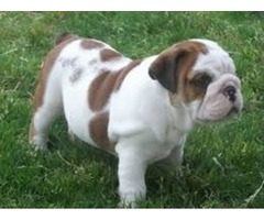 First Class Bulldog Puppies For you