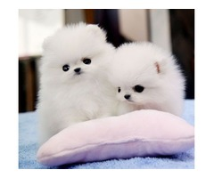 AKC Baby Doll Faces T-Cup Pomeranian  Puppies Now Available