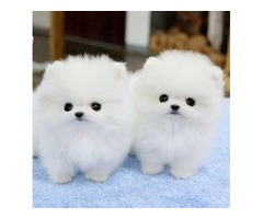 Top AKC T-Cup Pomeranian  Puppies Now Available