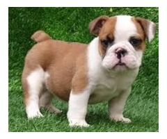 Beautiful English Bulldog For Re Homing
