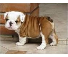 **Beautiful Bulldog puppies**