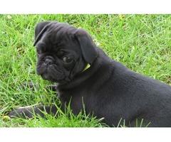 Super funny Pug puppy- AKC
