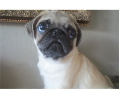 WHITE PUG PUPPY TO GO NOW!!!!