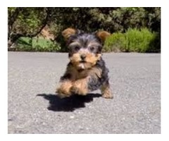 Outstanding Tiny size Yorkie puppies available