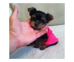 Adorable tiny Yorkie Re homing now