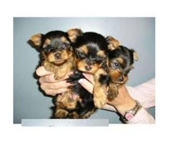 Small Size Yorkie Puppy Ready