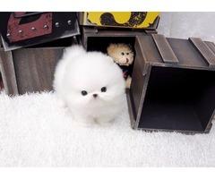 Sweet Loving AKC Micro Tiny Tea-Cup Pomeranian Puppies