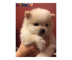 Registered AKC,CKC  Tea-Cup Pomeranian Puppies