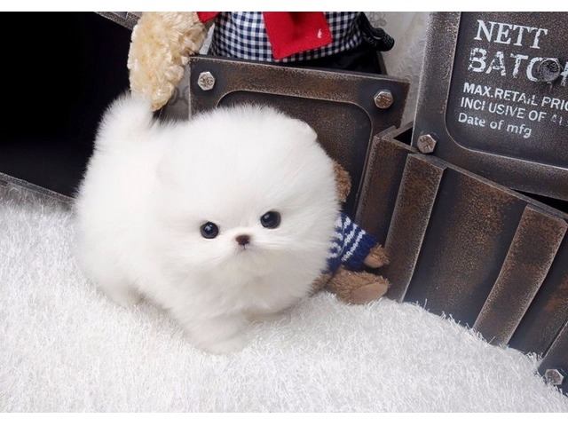 Charming Akc Micro Tiny Tea Cup Pomeranian Puppies Animals