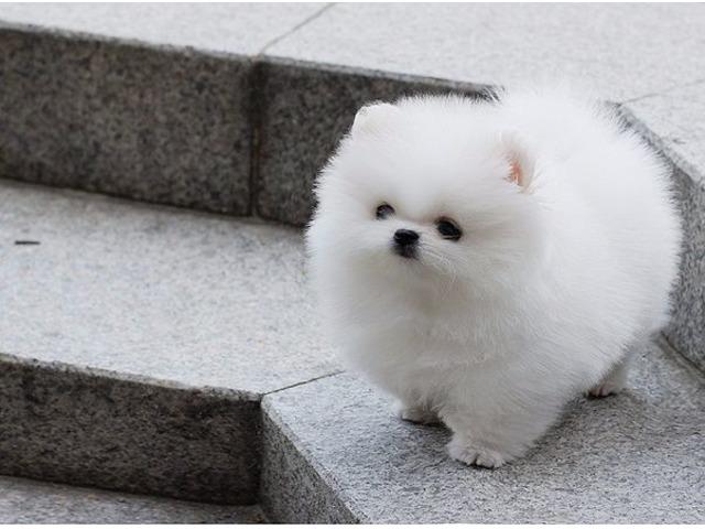 Beautiful White Micro Tiny Teacup Pomeranian Puppies